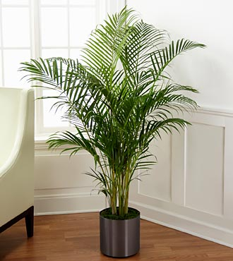 The Palm Plant by FTD® – CONTAINER INCLUDED