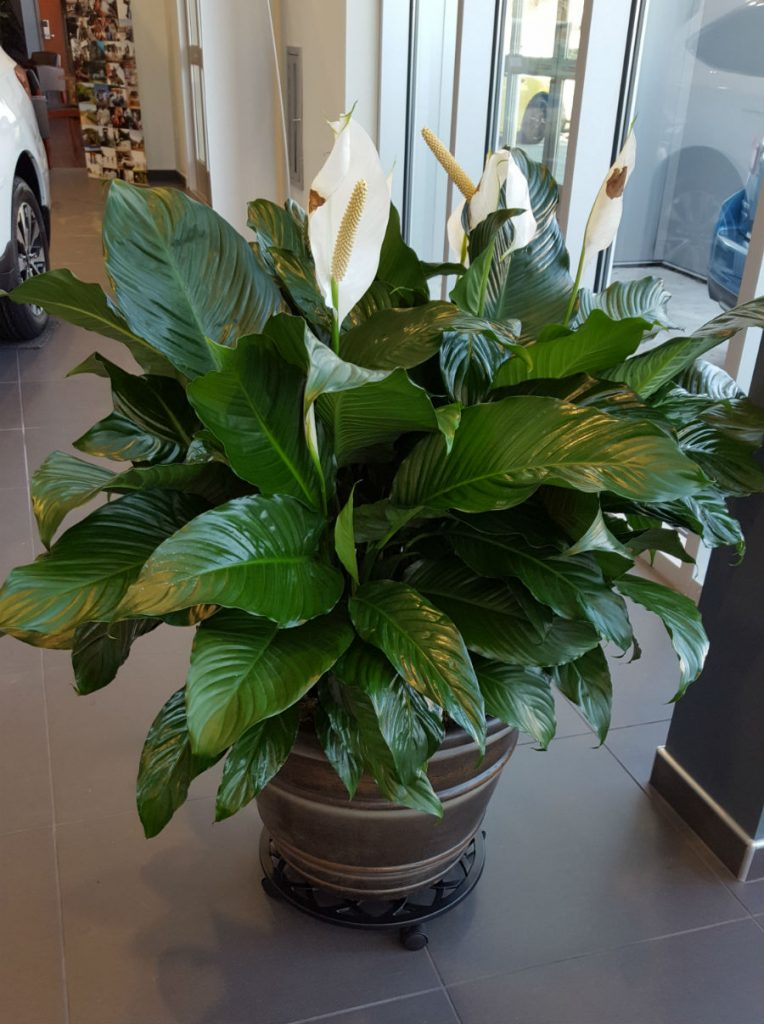 peace lily    spath  u2013 extra large